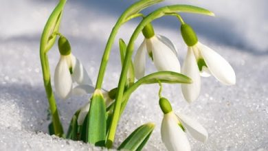 Photo of Kardelen çiçeği